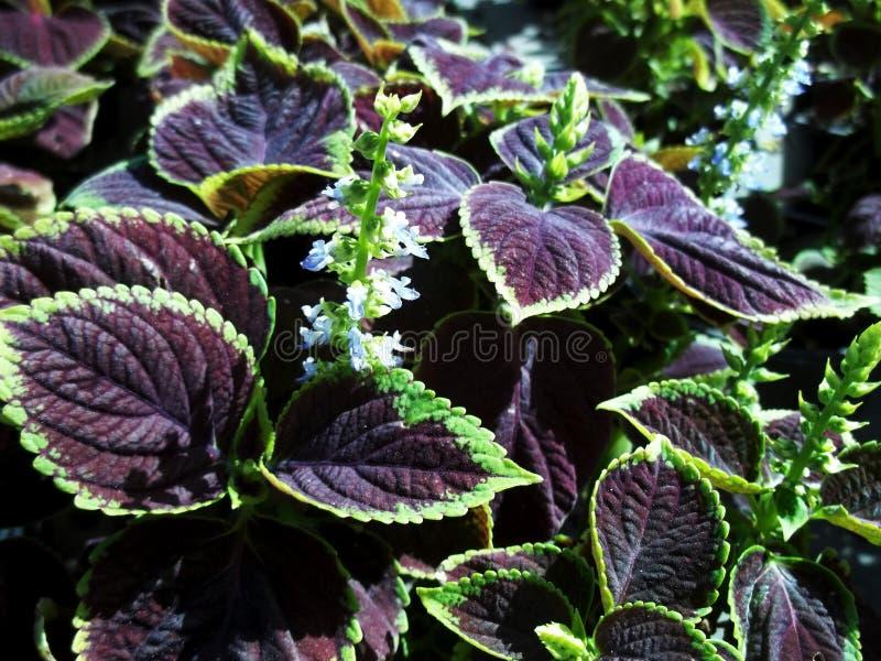 Purpurfärgade blad och blommor royaltyfria foton