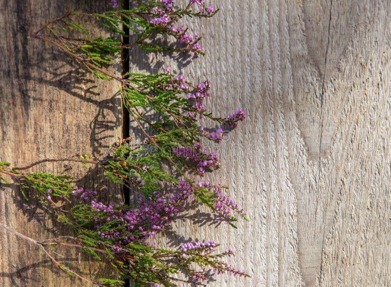 Purpurfärgade blommor av ljung på en träbakgrund, höstbegrepp, bästa sikt royaltyfri foto