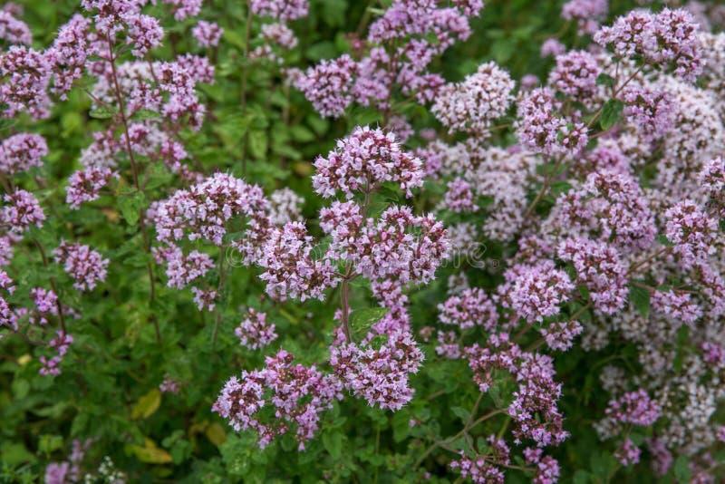 Purpurfärgade blommor av origanumvulgare eller gemensamma oreganon, lös mejram arkivfoto