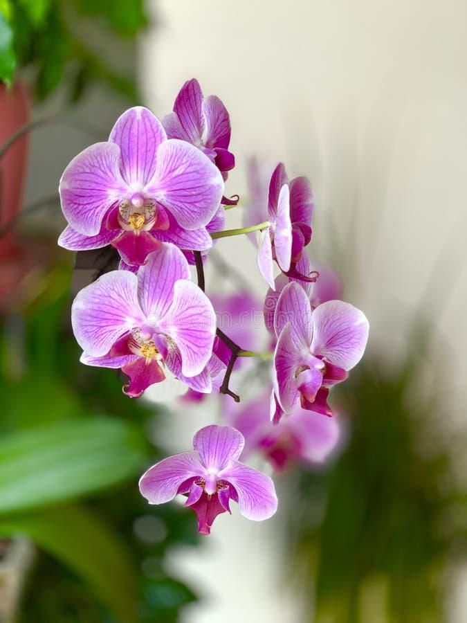 Purpurfärgade blommor för orkidé, dekorativ blomma av violett-vit färg med gröna sidor royaltyfria foton