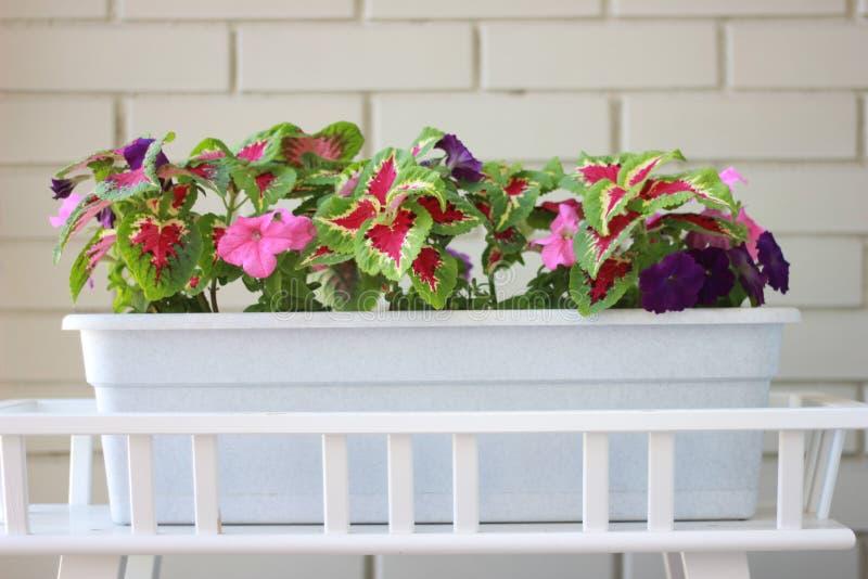 Purpurfärgade blommor för sommar och gröna sidor i en stor lång kruka arkivfoton