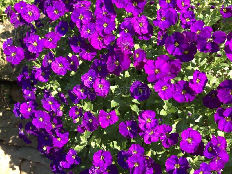 Purpurfärgade blommor i trädgården, ljus för sen eftermiddag royaltyfri bild