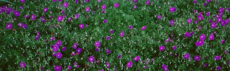 Purpurfärgade blommor, Taft trädgårdar, Ojai, Kalifornien arkivfoto