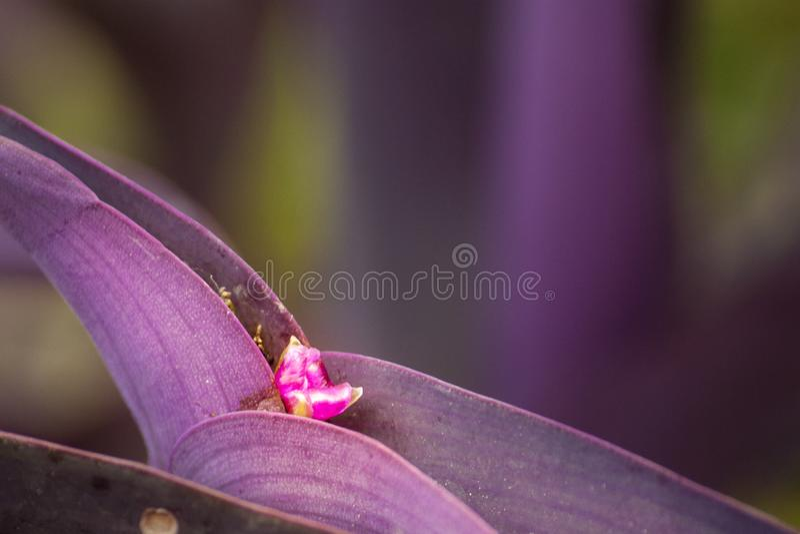 Purpurfärgade blommor, purpurfärgade blommor, växtblommor royaltyfri bild