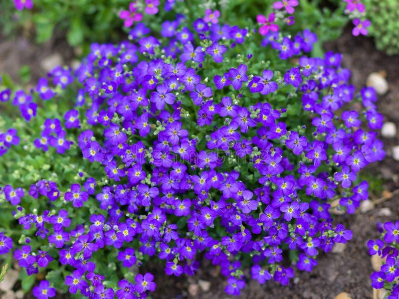 Purpurfärgade blomningar av Aubrieta blommor royaltyfri fotografi