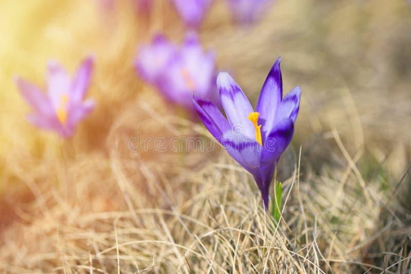 Purpurfärgade blomningar av krokusColchicumautumnale på en bergäng i solskenet royaltyfri fotografi