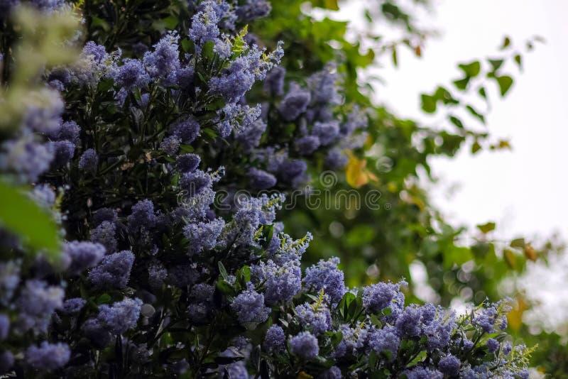 Purpurfärgade blomstra lila blommor utomhus i vårtid Bush in royaltyfri bild