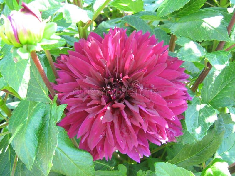 Purpurfärgade dahlior i sommarträdgård royaltyfria bilder