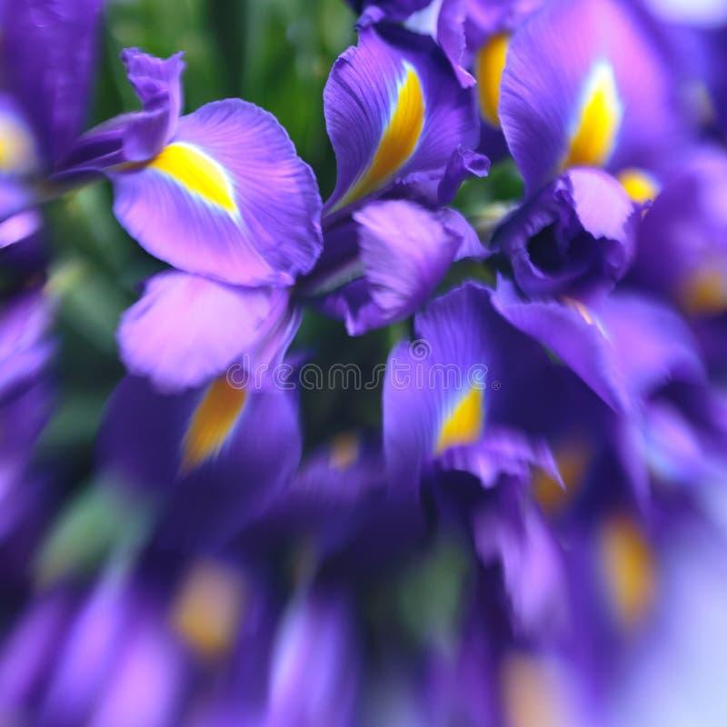 Purpurfärgade delikata irisblommor Elegant abstraktion, anbudblommabakgrund Mjuk selektiv fokus, lensbaby bild royaltyfria foton