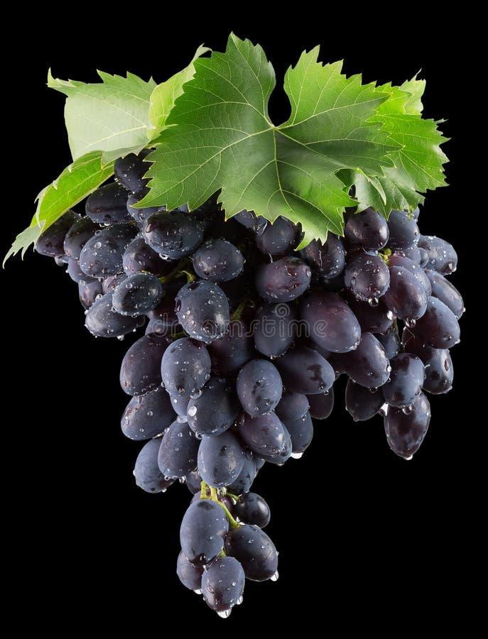 Purpurfärgade druvor på en svart bakgrund arkivfoto