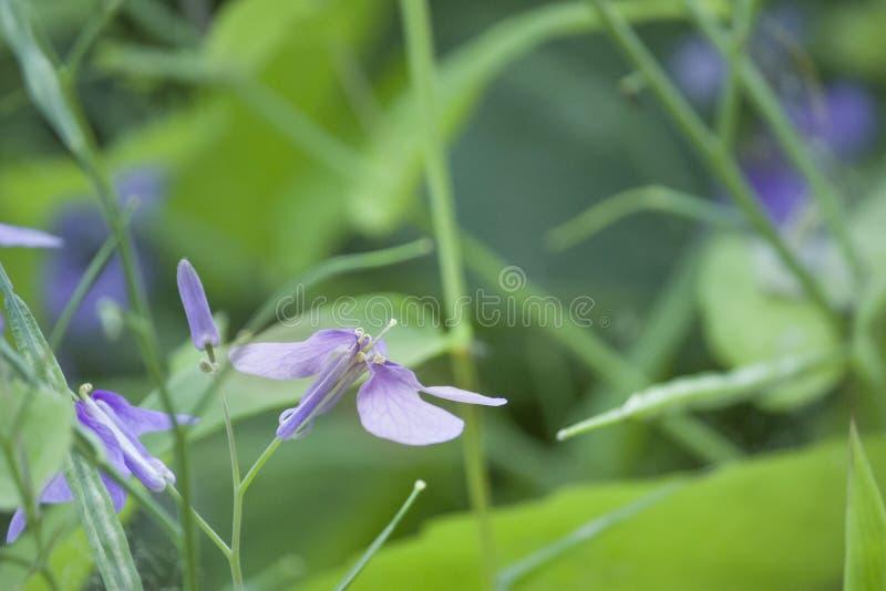 Purpurfärgade florets för färgrik irisorkidé royaltyfri foto