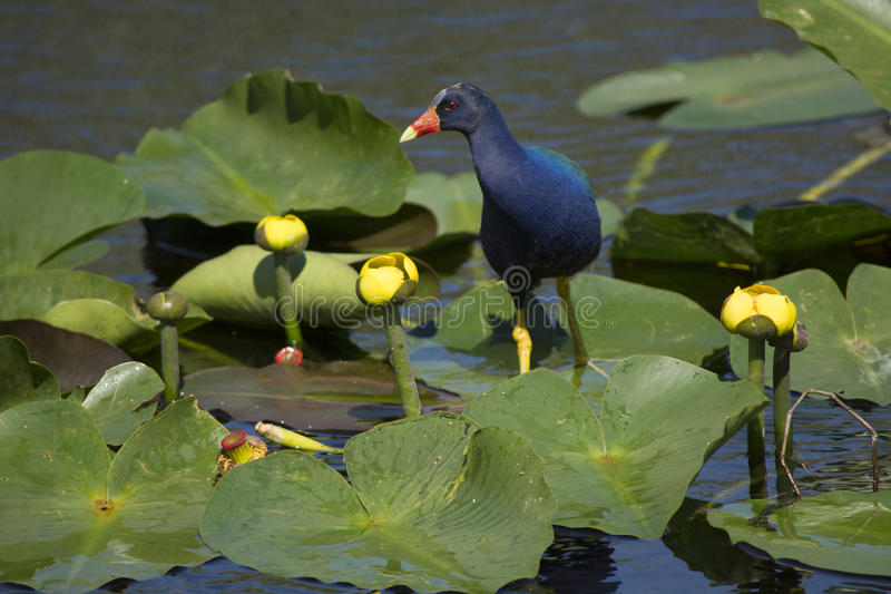 Purpurfärgade Gallinule i Evergladesnationalpark royaltyfria bilder
