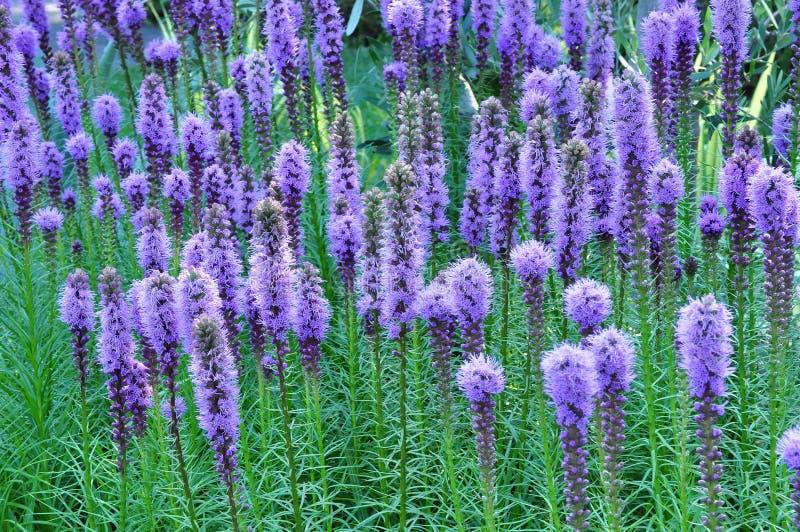Purpurfärgade Gayfeather blommor royaltyfri bild