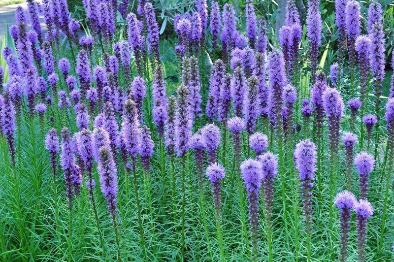 Purpurfärgade Gayfeather blommor royaltyfria foton