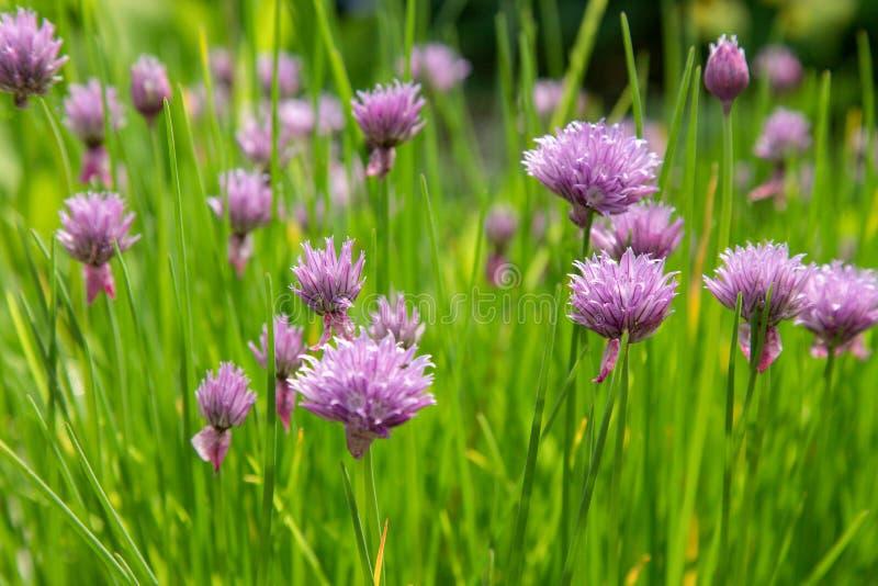 Purpurfärgade gräslökar i en trädgård royaltyfria foton