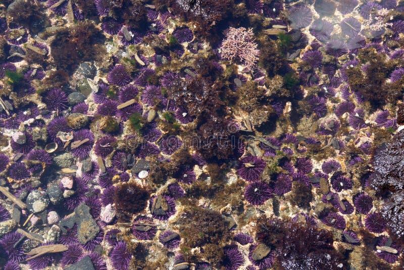 Purpurfärgade havsgatubarn royaltyfria foton