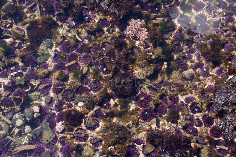Purpurfärgade havsgatubarn fotografering för bildbyråer