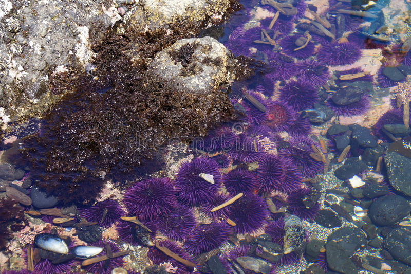 Purpurfärgade havsgatubarn i tidepool royaltyfri bild