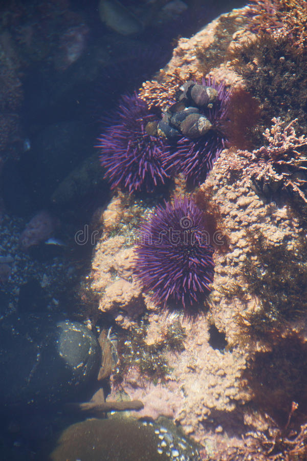 Purpurfärgade havsgatubarn i tidepool fotografering för bildbyråer