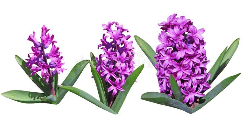 Purpurfärgade hyacintblommor arkivbild