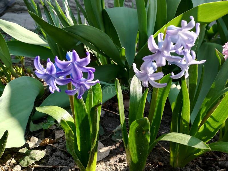 purpurfärgade hyacintblommor i trädgårdvårblom arkivfoto