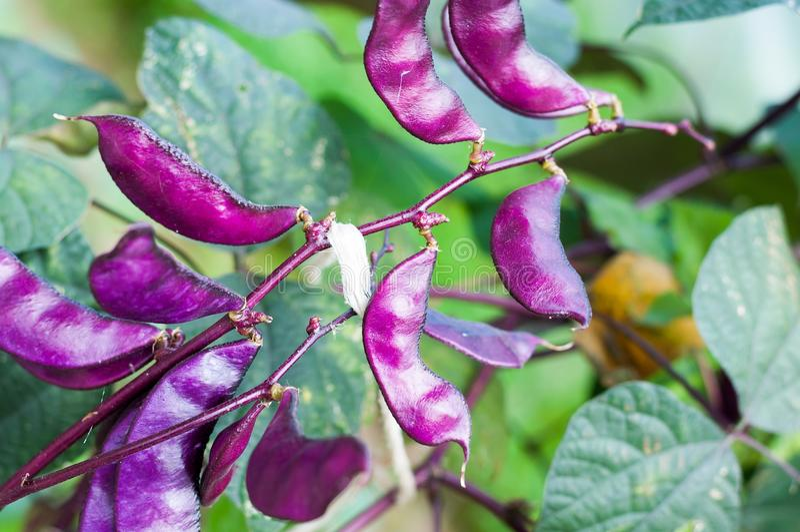 Purpurfärgade Hyacinth Bean (Lablabpurpureusen) royaltyfri foto