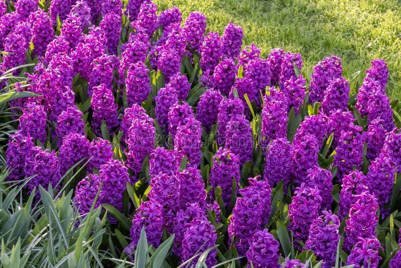 Purpurfärgade Hyacinthus, artorientalis, hyacint Lökformiga blommor för attraktiv vår Högt doftande royaltyfria foton