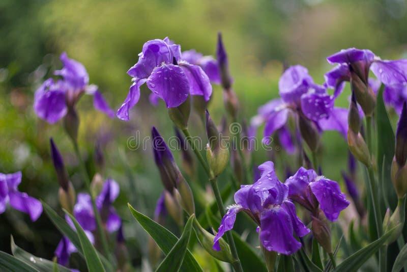 Purpurfärgade iriers blommar i en grön trädgård i vår royaltyfri bild