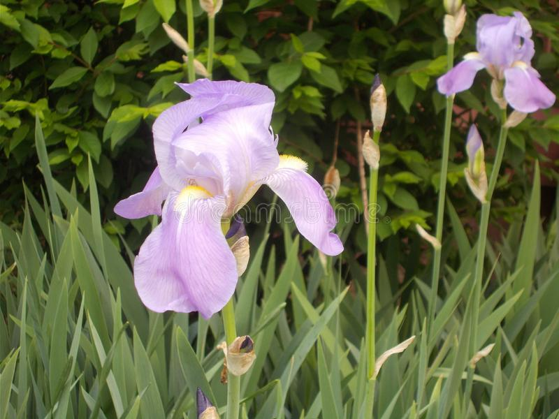 Purpurfärgade Iris Blooming In The Sun royaltyfria bilder
