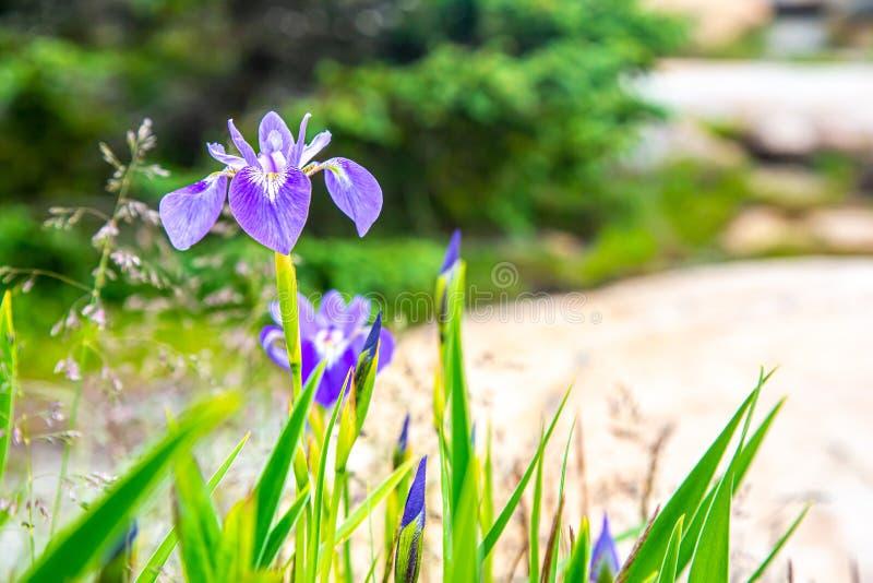 Purpurfärgade Iris Flowers i Acadianationalparken, Maine, USA fotografering för bildbyråer