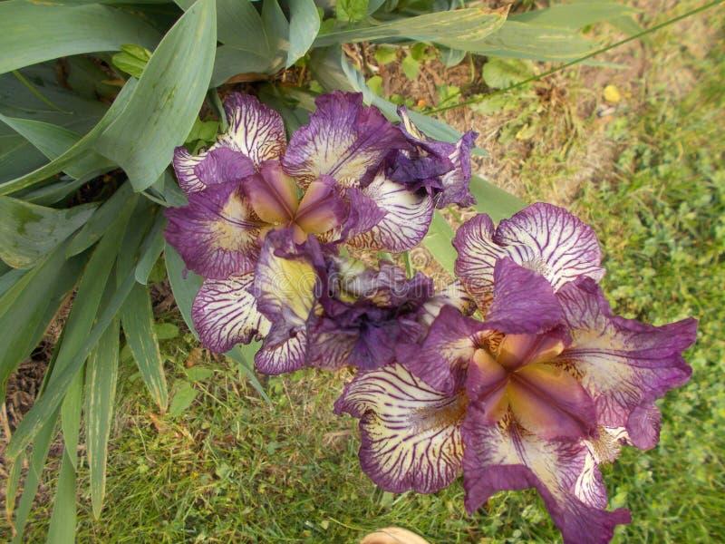 Purpurf?rgade Iris In The Morning fotografering för bildbyråer