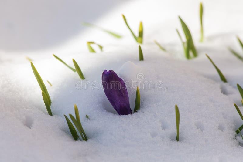 Purpurfärgade krokusar under snön arkivbild