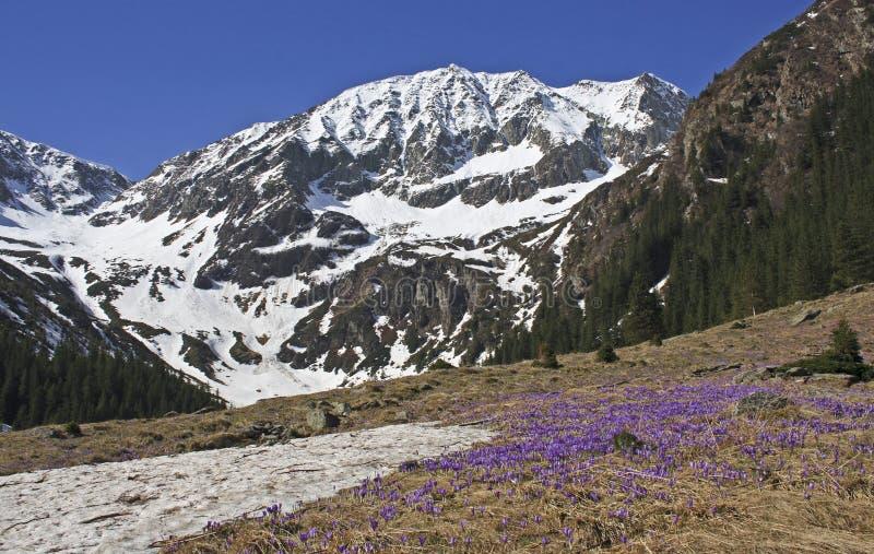 Purpurfärgade krokusblommor och härligt vårlandskap i Fagaras berg, Carpathians, Transylvania royaltyfri bild