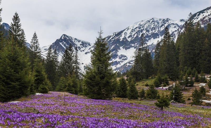Purpurfärgade krokusblommor och härligt vårlandskap i Fagaras berg, Carpathians, Transylvania royaltyfria bilder