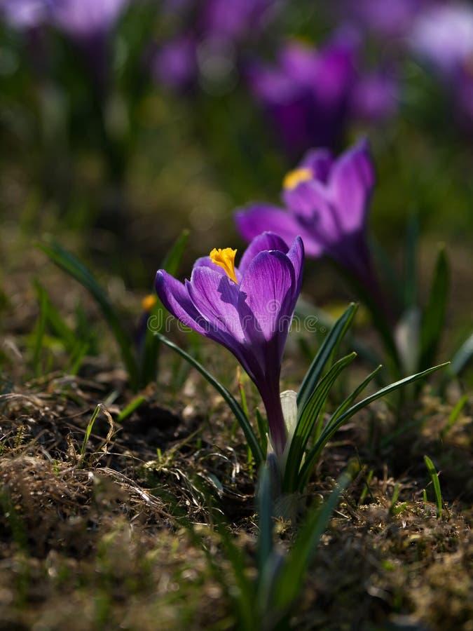 Purpurfärgade krokusblommor på den soliga gräsmattan close upp arkivfoto