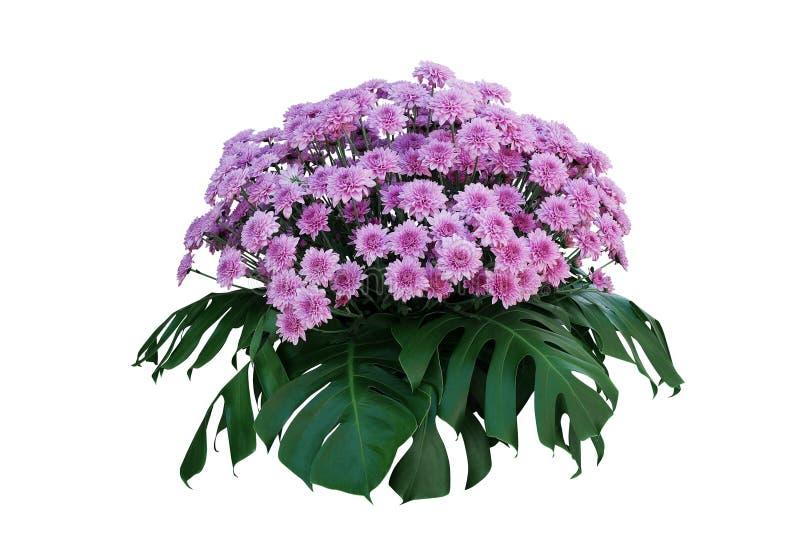 Purpurfärgade krysantemumblommor med tropiska sidor Monstera, blom- ordning för dekorativt naturbuskepodium som isoleras på vit arkivfoton