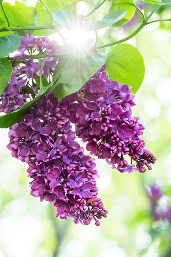 Purpurfärgade lilablommor fotografering för bildbyråer