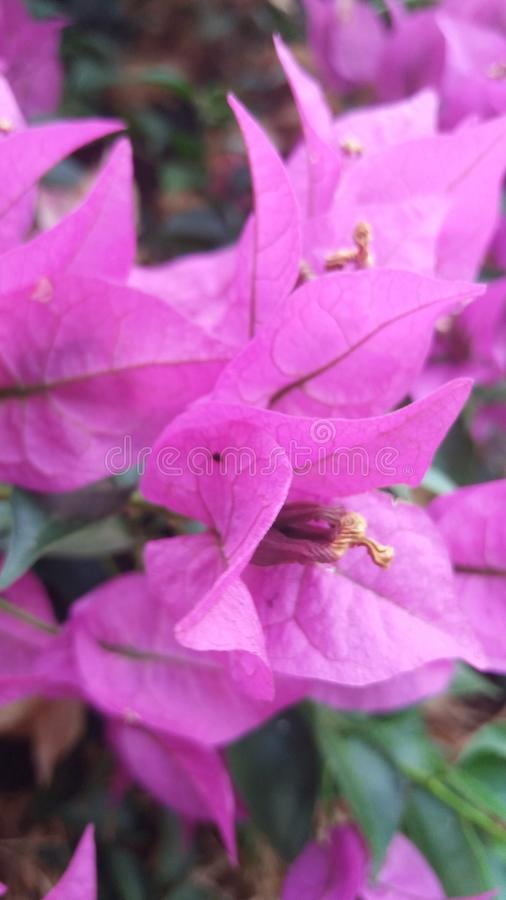 Purpurfärgade ljusa rosor fotografering för bildbyråer