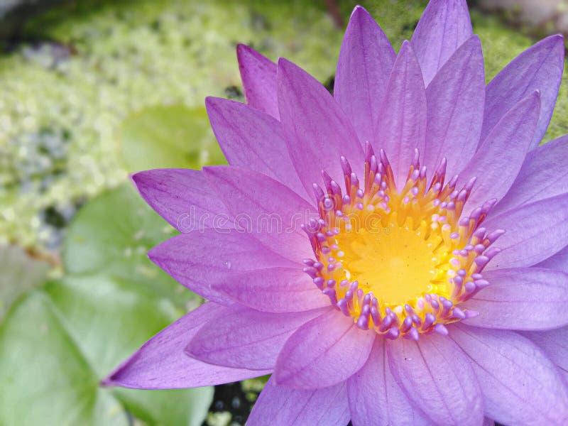 1 purpurfärgade lotusblommablomma som är blommande och har gult pollen och grön suddig bakgrund royaltyfria foton