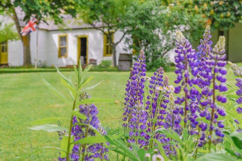 Purpurfärgade lupin som blommar med historisk byggnad i bakgrund på mälden, maler och arbeta i trädgården Keremeos fotografering för bildbyråer