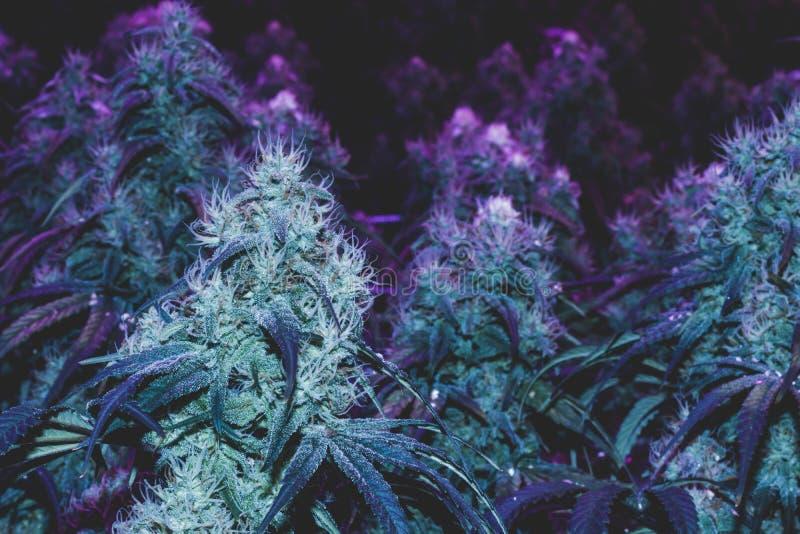 Purpurfärgade medicinska marijuanaknoppar fotografering för bildbyråer