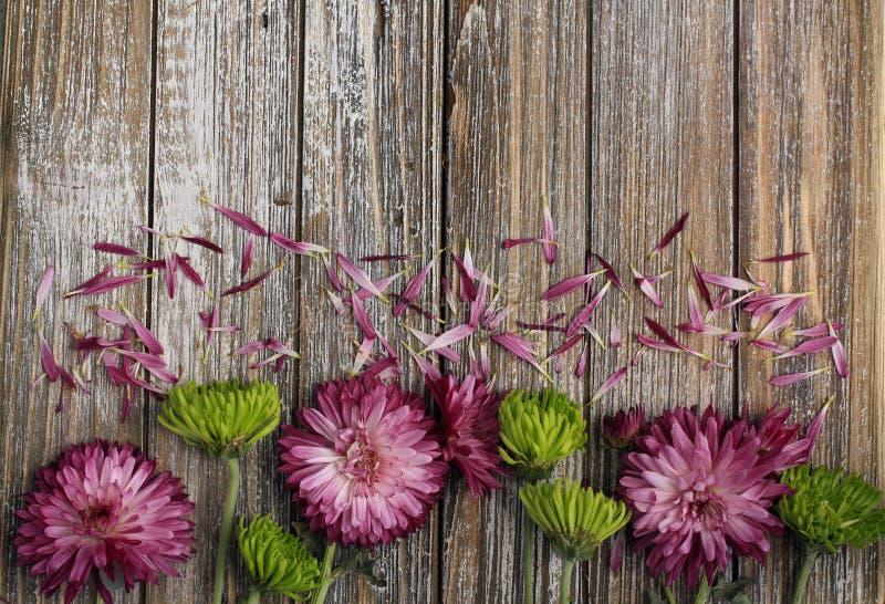 Purpurfärgade mumblommor och spindelkrysantemumblommor stänger sig upp med lösa kronblad arkivfoton