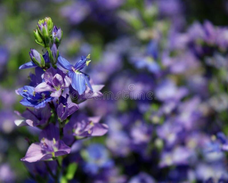 Purpurfärgade och blåa blommor i blomsterrabatt royaltyfri foto