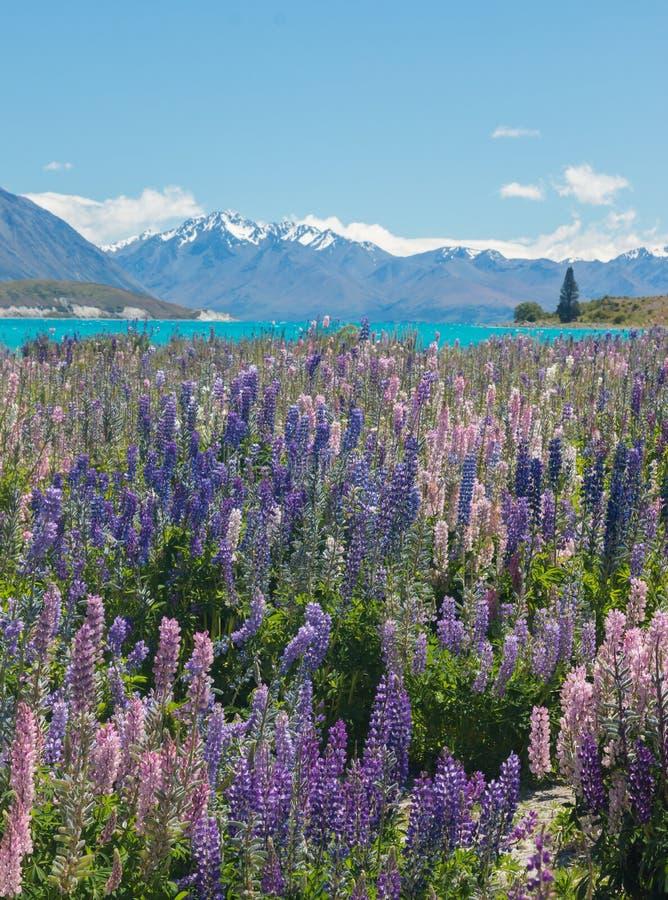 Purpurfärgade och rosa lupin bredvid det ljusa blåa vattnet av sjön Pukaki, en viktig turist- dragning på den nyazeeländska södra royaltyfria bilder