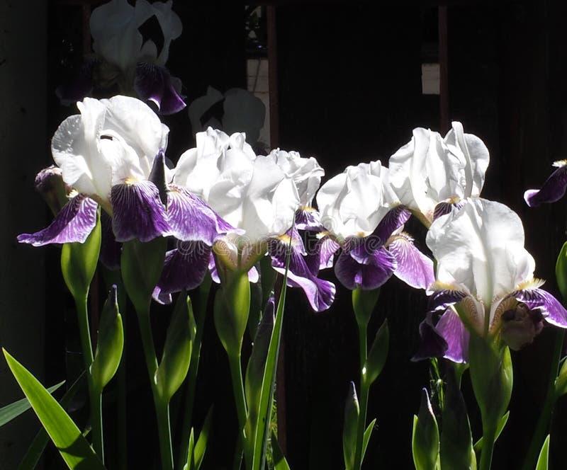Purpurfärgade och vita iriers royaltyfri fotografi