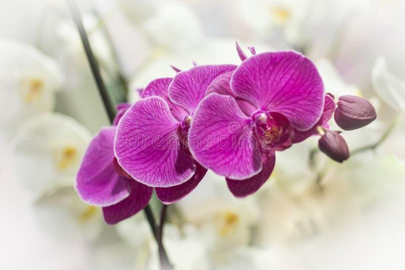 Purpurfärgade och vita Phalaenopsisorchideblommor i en drivhus royaltyfri fotografi