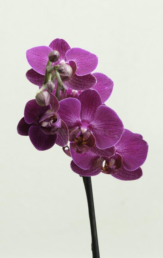 Purpurfärgade orkidér arkivbild