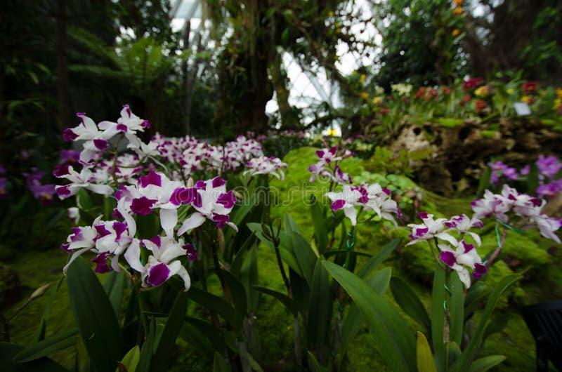 Purpurfärgade orkidér i trädgården vid fjärden, Singapore arkivfoton