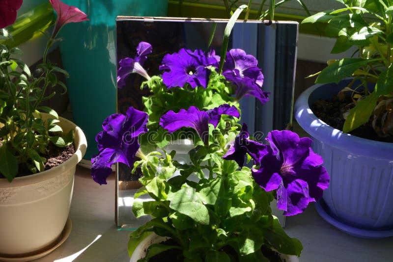 Purpurfärgade petuniablommor reflekterar i spegel Blom- sammansättning i liten trädgård på balkongen fotografering för bildbyråer