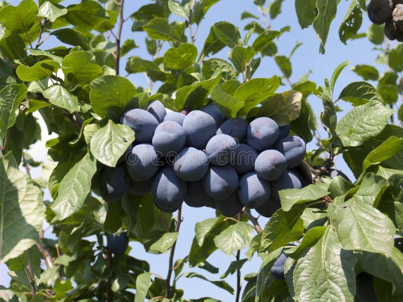 Purpurfärgade plommoner i trädet royaltyfri bild